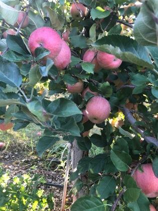 apple picking1.jpg